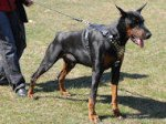 Royal Designer Leather Dog Harness - De luxe Studded Comfy Doberman Harness