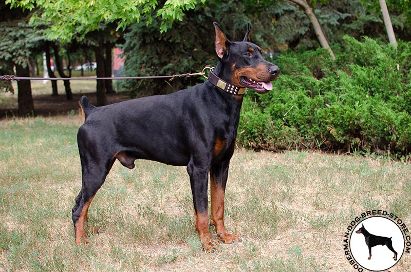 look for custom leather collars buy doberman collar with adornment