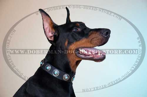 Stylish Dog Collar for Dress-Conscious Dobermans