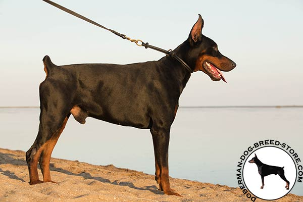 Doberman black leather collar of genuine materials with brass plated fittings for better comfort