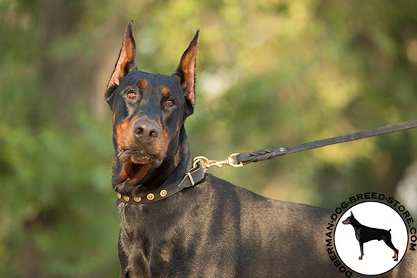 Doberman black leather collar of classic design with studs for daily activity
