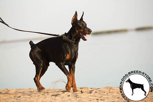 Doberman black leather collar with strong fittings for improved control