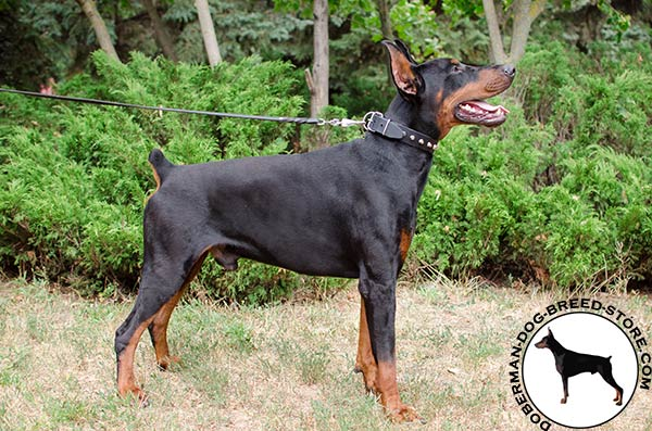 Leather Doberman collar of sophisticated design