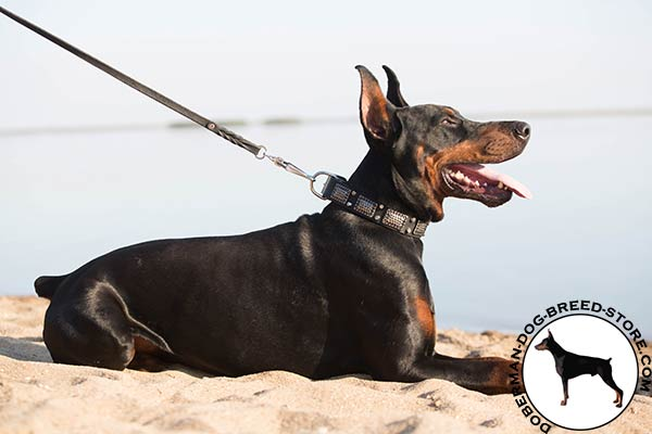 Designer exclusive Doberman collar for walking