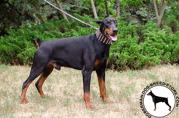 Wide genuine leather collar for Doberman breed