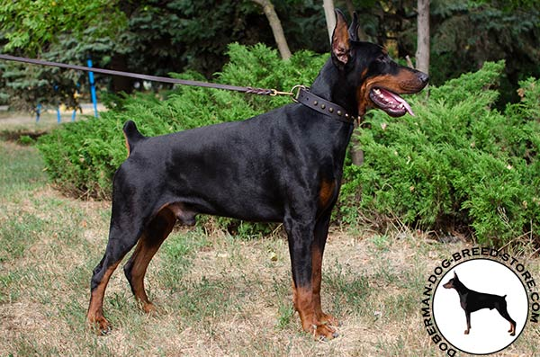 Walking and training in style Doberman collar