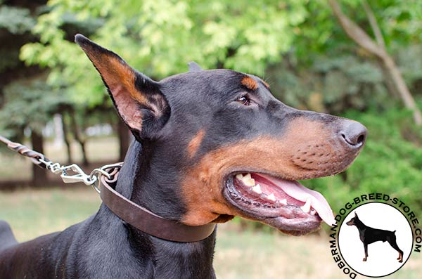 Totally safe leather collar for Doberman