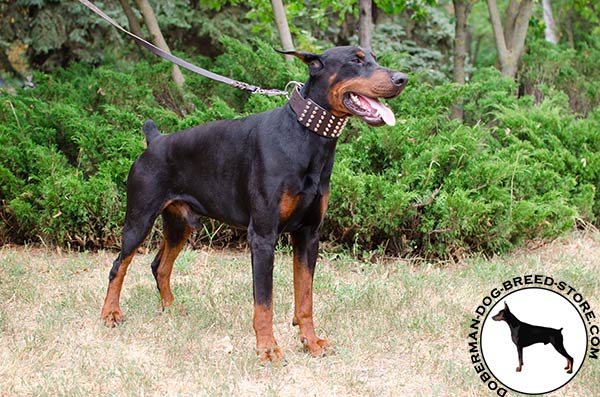 Walking wide Doberman collar