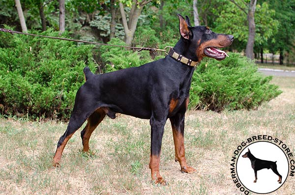 Reliable and strong collar for Doberman
