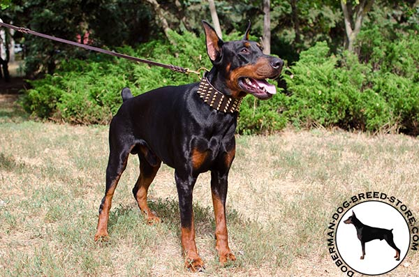 Wide leather collar for Doberman walking