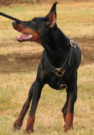 Doberman Pinscher Luxury handcrafted leather dog harness