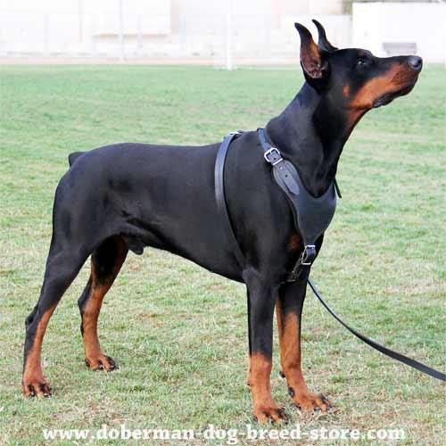 Heavy Duty Educative Leather Dog Harness-Modern Universal Training