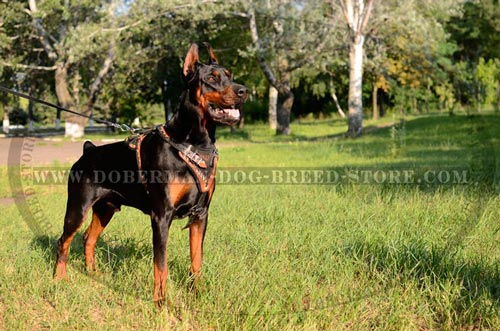 Gorgeous Doberman Leather Harness
