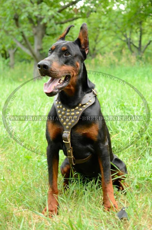 Handmade Doberman Harness