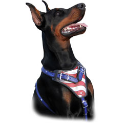 Doberman Pincher wearing USA pride Harness