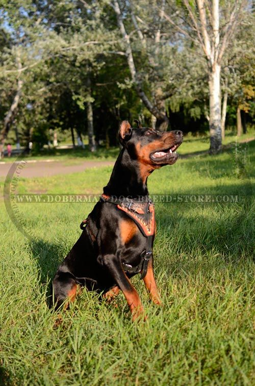 Exclusive Leather Doberman Harness for Walks in Style