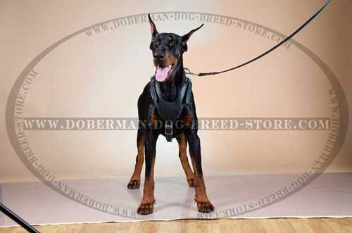 Wonderful Leather Dog Harness for Dobermans