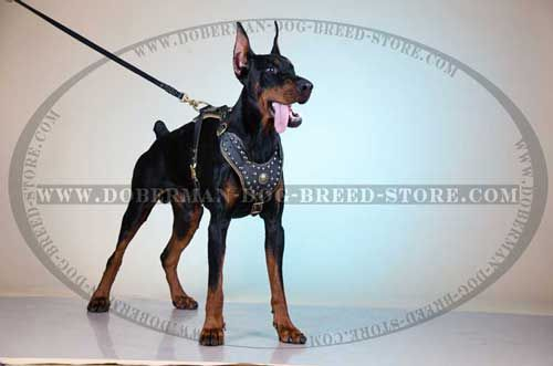 Royal Leather Canine Harness for Fashionable Dobermans