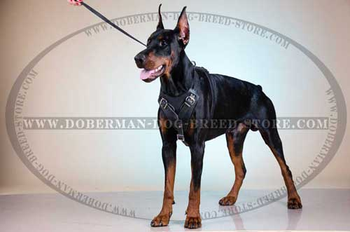 Protective Leather Canine Harness for Dobermans