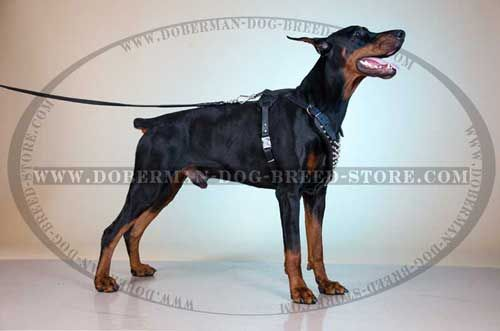The Studded Leather Canine Harness for Dobermans with Y-Shaped Breast Plate