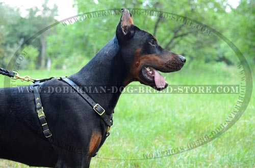 Superior Doberman Leather Dog Harness