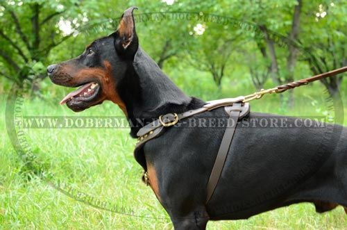 Studded Doberman Leather Dog Harness