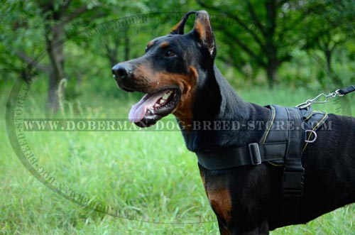 Walking Doberman Harness