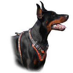 Doberman wearing Harness with Strong Leather Straps