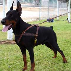 Doberman wearing Amazing Harness
