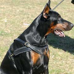 Doberman wearing High-quality Harness