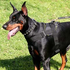 Doberman wearing Amazing Nulon Harness