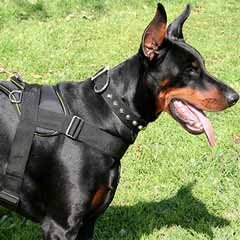 Doberman wearing Nylon Harness