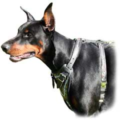 Doberman wearing Barbed Wire Harness
