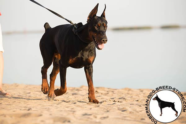 Doberman leather leash with reliable brass plated hardware for better comfort