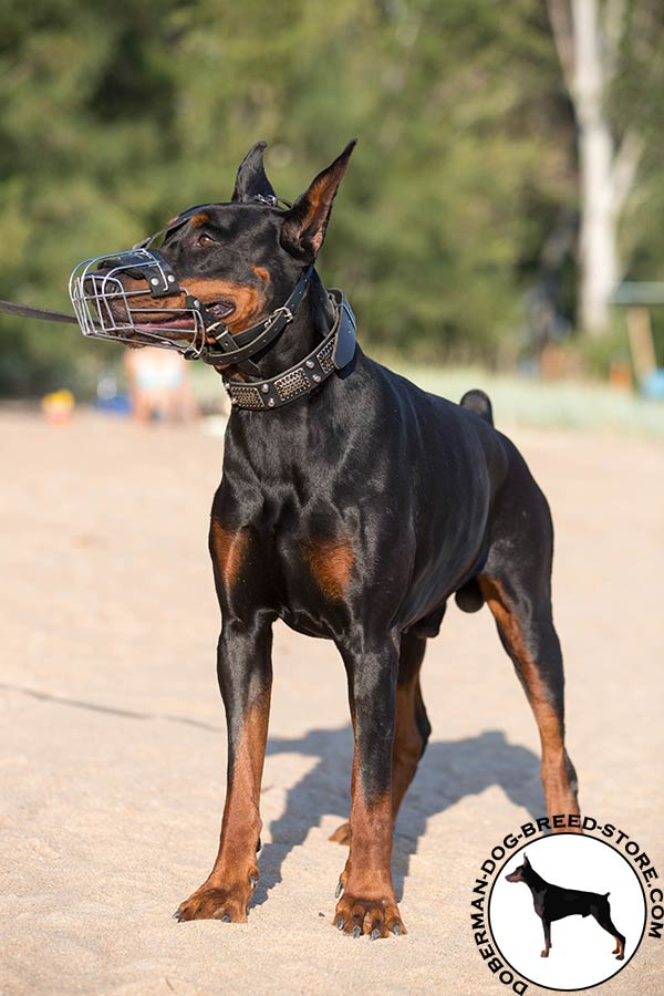 Doberman wire basket muzzle with strong fittings for walking