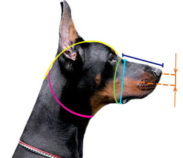 Measuring your dog's face