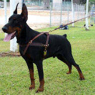 Dobermna pinscher dog harness