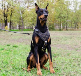 Articles about Doberman