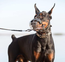 Measure Your Dobie For The Correct Muzzle Size